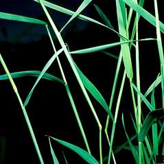 Leaves: Agrostis stolonifera. ~ By Barry Rice. ~ Copyright © 2016 CC BY-NC 3.0. ~  ~ Bugwood - www.bugwood.org/