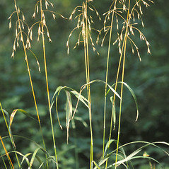 Plant form: Bromus pubescens. ~ By Eugene van der Pijll. ~  Public Domain. ~  ~ Great Lakes image collection - U.S. Environmental Protection Agency - www.epa.gov/glnpo/image/viz_native4.html