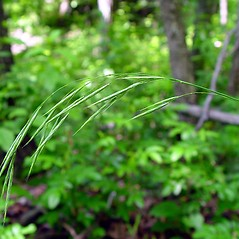 Spikelets: Bromus pubescens. ~ By Arthur Haines. ~ Copyright © 2016. ~ arthurhaines[at]wildblue.net