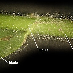 Stems and sheaths: Bromus pubescens. ~ By Anna Gardner. ~ Copyright © 2015. ~ dlewis[at]ias.edu ~ Ada Hayden Herbarium - Iowa State U.
