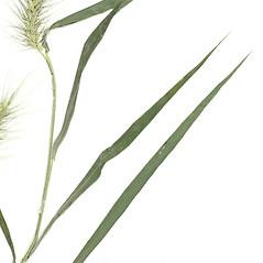 Leaves: Elymus macgregorii. ~ By Derick B. Poindexter. ~ Copyright © 2015 Derick B. Poindexter. ~ dpoindex[at]live.unc.edu ~ Vascular Flora of Alleghany County, NC - vascularflora.appstate.edu/