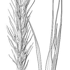 Spikelets: Elymus macgregorii. ~ By Elsie Froeschner. ~ Copyright © 2016 Ellen L. Froeschner. ~ Ellen L. Froeschner, 1939-A Frankin Blvd., Carmel Indiana 46032 ~ Ada Hayden Herbarium - Iowa State U.