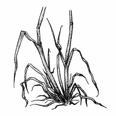 Stems and sheaths: Festuca rubra. ~ By Elizabeth Farnsworth. ~ Copyright © 2016 New England Wild Flower Society. ~ Image Request, images[at]newenglandwild.org