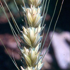 Spikelets: Triticum aestivum. ~ By Robert Freckmann. ~ Copyright © 2016 Robert Freckmann. ~ rfreckma[at]uwsp.edu ~ Robert W. Freckmann Herbarium, U. of Wisconsin-Stevens Point