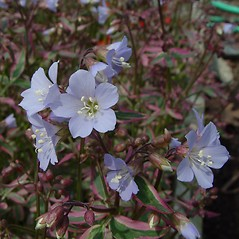 Flowers: Polemonium reptans. ~ By Arthur Haines. ~ Copyright © 2015. ~ arthurhaines[at]wildblue.net