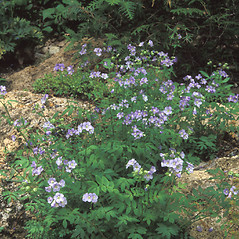 Plant form: Polemonium reptans. ~ By Dorothy Long. ~ Copyright © 2016 New England Wild Flower Society. ~ Image Request, images[at]newenglandwild.org