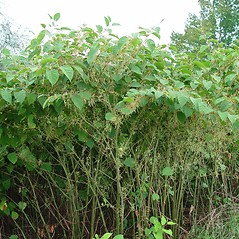 Plant form: Fallopia japonica. ~ By Arthur Haines. ~ Copyright © 2015. ~ arthurhaines[at]wildblue.net