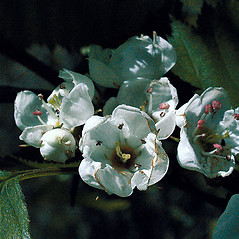 Flowers: Crataegus coccinea. ~ By Andrew Nelson. ~ Copyright © 2015 Andrew Nelson. ~ andrew.nelson[at]oswego.edu   ~ New York Flora Atlas - newyork.plantatlas.usf.edu