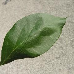 Leaves: Malus floribunda. ~ By Andrea Moro. ~ Copyright © 2016 CC BY-NC-SA 3.0. ~  ~ luirig.altervista.org/flora/taxa/north-america.php