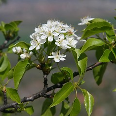 Flowers: Prunus mahaleb. ~ By Robert Vid_ki. ~ Copyright © 2016 CC BY-NC 3.0. ~  ~ Bugwood - www.bugwood.org/