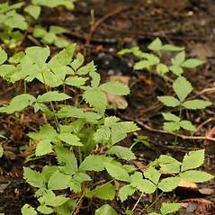 Plant form: Rubus pubescens. ~ By Ben Legler. ~ Copyright © 2015 Ben Legler. ~ mountainmarmot[at]hotmail.com ~ U. of Washington - WTU - Herbarium - biology.burke.washington.edu/herbarium/imagecollection.php