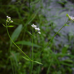 Flowers: Galium palustre. ~ By Arthur Haines. ~ Copyright © 2015. ~ arthurhaines[at]wildblue.net