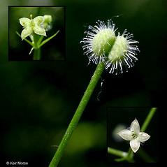 Fruits: Galium triflorum. ~ By Keir Morse. ~ Copyright © 2016 Keir Morse. ~ www.keiriosity.com ~ www.keiriosity.com