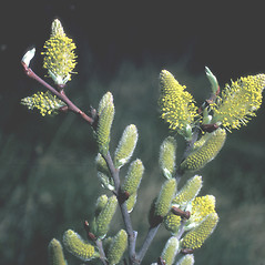 Flowers: Salix discolor. ~ By Frank Bramley. ~ Copyright © 2016 New England Wild Flower Society. ~ Image Request, images[at]newenglandwild.org
