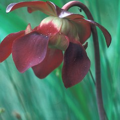 Flowers: Sarracenia purpurea. ~ By Dorothy Long. ~ Copyright © 2015 New England Wild Flower Society. ~ Image Request, images[at]newenglandwild.org