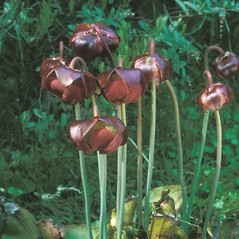 Flowers: Sarracenia purpurea. ~ By Frank Bramley. ~ Copyright © 2015 New England Wild Flower Society. ~ Image Request, images[at]newenglandwild.org