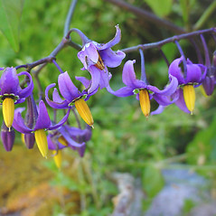 Flowers: Solanum dulcamara. ~ By Glen Mittelhauser. ~ Copyright © 2015 Glen Mittelhauser. ~ www.mainenaturalhistory.org