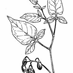 Leaves: Solanum dulcamara. ~ By Gordon Morrison. ~ Copyright © 2016 New England Wild Flower Society. ~ Image Request, images[at]newenglandwild.org