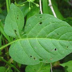 Leaves: Solanum dulcamara. ~ By Glen Mittelhauser. ~ Copyright © 2016 Glen Mittelhauser. ~ www.mainenaturalhistory.org