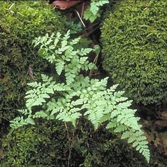 Plant form: Cystopteris fragilis. ~ By Arieh Tal. ~ Copyright © 2015 Arieh Tal. ~ www.nttlphoto.com ~ Arieh Tal - www.nttlphoto.com