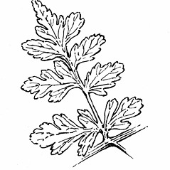 Detail of leaf and/or divisions: Cystopteris fragilis. ~ By Gordon Morrison. ~ Copyright © 2016 New England Wild Flower Society. ~ Image Request, images[at]newenglandwild.org