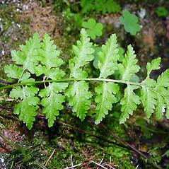 Leaf: Cystopteris fragilis. ~ By Arthur Haines. ~ Copyright © 2016. ~ arthurhaines[at]wildblue.net