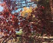 Sighting photo: Quercus alba