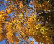 Sighting photo: Acer platanoides