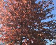 Sighting photo: Quercus palustris
