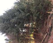 Sighting photo: Picea