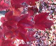 Sighting photo: Acer rubrum