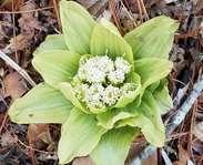 Sighting photo: Petasites japonicus
