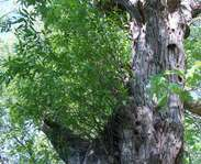Sighting photo: Salix