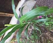 Sighting photo: Sorghum bicolor