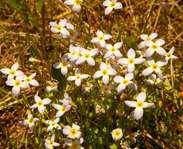 Sighting photo: Houstonia caerulea