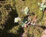 Sighting photo: Micranthes virginiensis