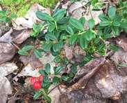 Sighting photo: Vaccinium vitis-idaea