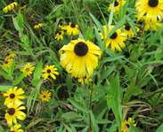 Sighting photo: Rudbeckia
