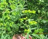 Sighting photo: Euphorbia esula