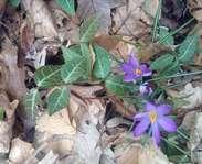 Sighting photo: Crocus vernus