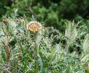 Sighting photo: Yellow Thistle