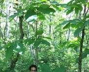 Sighting photo: Magnolia tripetala