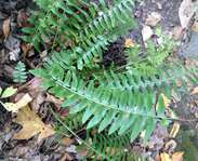 Sighting photo: Polystichum acrostichoides