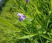 Sighting photo: Allegheny monkey-flower