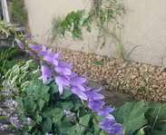 Sighting photo: Campanula rapunculoides