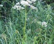 Sighting photo: common valerian