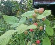 Sighting photo: Rubus occidentalis