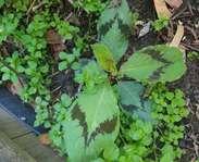 Sighting photo: Persicaria virginiana