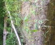 Sighting photo: common arrowhead