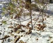 Sighting photo: Pinus strobus